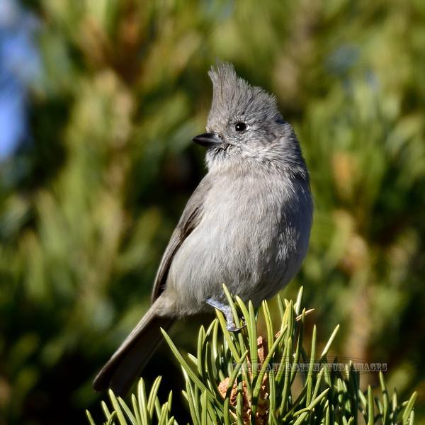 Titmouse, Juniper. Kaibab Forest, Arizona. #116.061.