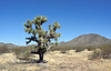 2021.3.1#5785.3. A real nice mature Joshua Tree north of Aguila near the Joshua Forest Parkway. Arizona.