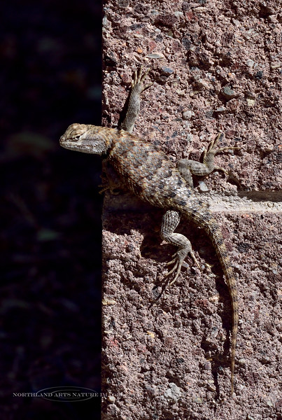 Desert Spiny Lizard 2018.6.30#175. Sceloporus occidentalis. Cathedral Gorge, Nevada.