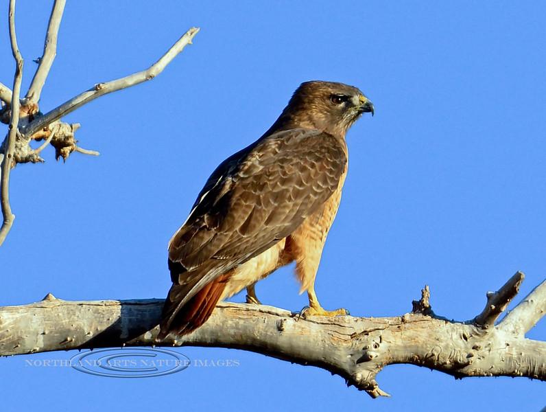 Hawk, Redtail. Yavapai County, Arizona. #119.251.