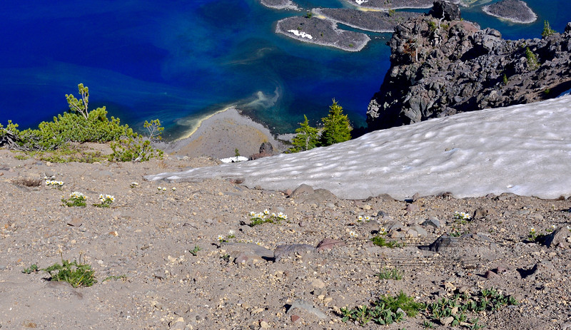 A great example of how Western Pasque Flowers bloom near the edge of receding snow. On the rim of Crater Lake Oregon.