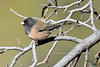 Junco, Dark-eyed. Possibly pink sided variation. Yavapai County, Arizona. #1118.191.