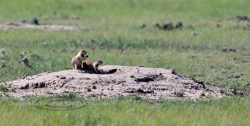Black-tailed Prairie Dog 2018.7.6#1870. Wyoming.