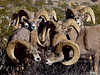Desert Bighorn rams 2019.1.18#1984. An unusual gathering of rams clumped together. Lake Mead Nevada.