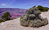 AZ-GCNP2018.4.26#079.4. A large Buffalo Berry bush on the edge of the south rim of the Grand Canyon looking across to the Kaibab Plateau on the north rim. Arizona.