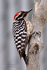 Ladderback Woodpecker 2018.3.7#070. A male. Prescott Valley Arizona.
