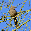 Thrasher, Curve-billed. Maricopa County, Arizona. #1213.022.
