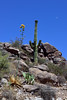 Desertscape of Agave, Prickly Pear and Saguaro 2018.6.19#319. On a rocky hillside in Gila County Arizona.