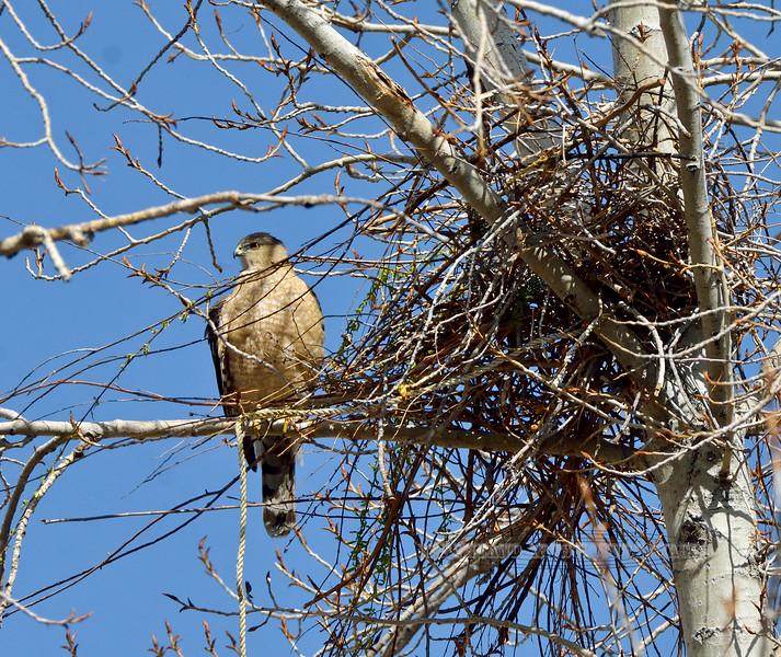 Cooper's Hawk 2021.3.29#0306.2.Building a nest in Prescott Valley Arizona.