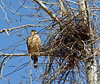Cooper's Hawk 2021.3.29#0306.2.Building a nest in Prescott Valley Arizona.