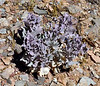 Desert Holly 2020.5.5#1557.4. Atriplex hymenelytra. I don't know the reason for the purple color of this usually silvery grey green plant. North Shore of Lake Mead Nevada.