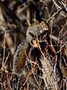 Tree Squirrel, Arizona Gray. Yavapai County, Arizona. #1118.023.