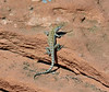 Lizard, Unknown species 2019.10.13#969.3. Lake mead Nevada.