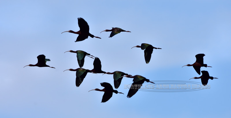 A fly by of White-faced Ibis. 2019.4.9#1133. Cochise Lake, Wilcox Arizona.