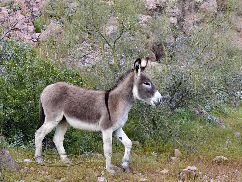 Wild Burro 2019.3.6#252. Lake Pleasant, Maricopa County Arizona.
