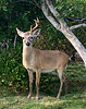 The endangered Key Deer. 2020.1.31#4219.3. The larger bucks are starting to drop their antlers almost in tune with the  northern Whitetails. Big Pine Key, Florida.