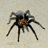 I-Tarantula, male maybe out looking for a girl friend. 4884 Mariner. Prescott Valley, Arizona.