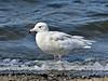Gull, Glaucous. Teller, Seward peninsula, Alaska. #622.572. 3x4 ratio format.