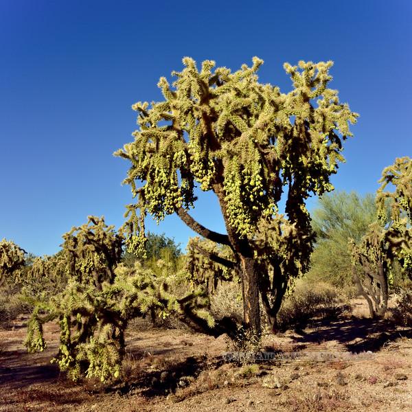 AZ-CTS-Cylindropuntia fulgida 2017.12.14#004, the Chainfruit Cholla. Near Lost Dutchman State Park. Maricopa County, Arizona.