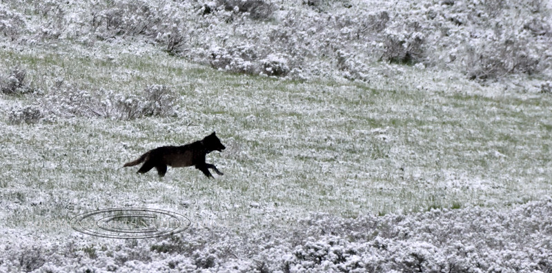 Gray Wolf. 2019.6.21#782. In pursuit of a cow Elk. Hayden Valley, Yellowstone Park Wyoming.