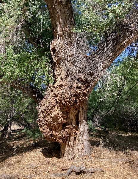 A really neat burl on a grand old Fremont Cottonwood 2021.5.14#00705.2. Viewed along the Hassayampa River in the Preserve near Wickenberg Arizona. 23mb jpeg image from iPhone SE.
