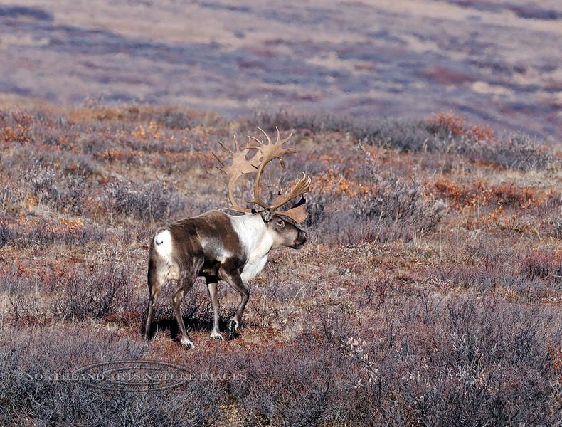 C-2012.10.11#255.4. A really great bull caribou belonging to the Nelchina herd. Denali Country Alaska.