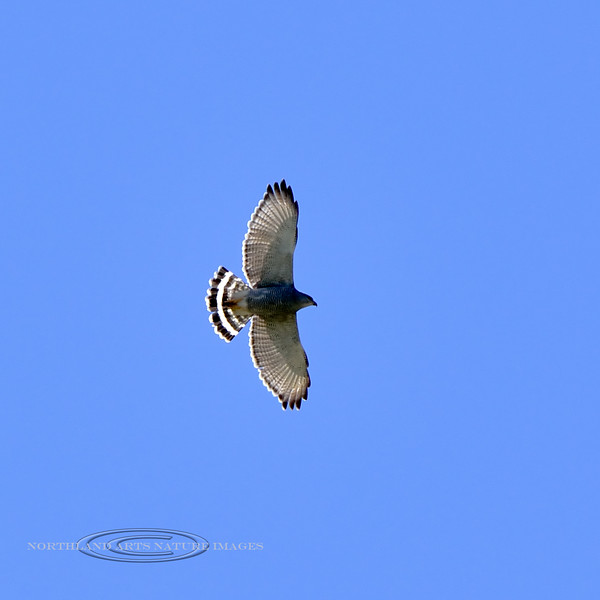 Gray Hawk 2019.4.30#1002. Santa Rita mountains, Arizona. Photo by Guy J.