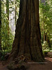 2021.6.20#5492.3. Coastal Redwood, Sequoia sempervirens in the Stout Grove of Jedediah Smith Redwood State Park, California.