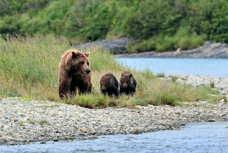 Brown Bear sow & cubs. 2010.8.12#361. Working part of the river less frequented by larger male bears. McNeil River, on the Alaska Peninsula Alaska.