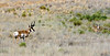 409-Antelope, Pronghorn. Upper Agua Fria, Yavapai County, Arizona. #79.494.
