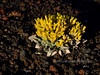 Newberry's Bladderpod 2018.4.26#142. Physaria Newberryi A draba that evolved as a colonizer of volcanic cinder. Sunset Crater Volcano Nat. Monument, Arizona.