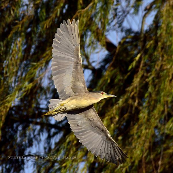 Black Crowned Night Heron 2018.11.14#634. Cochise Lake, Wilcox Arizona.