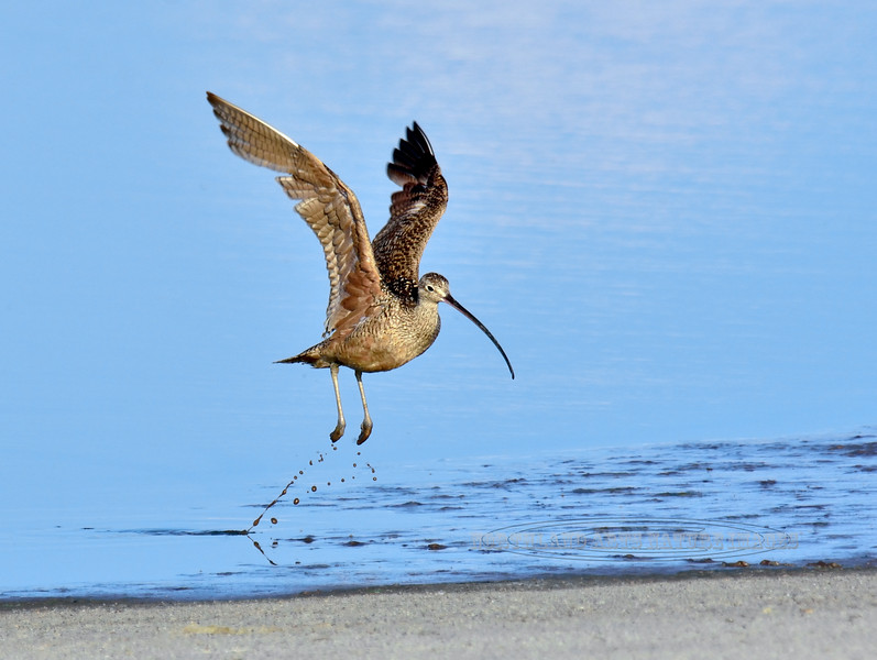 Long-billed Curlew. 2019.7.20#1634. A special day getting to observe curlew's going about their activity's. Cochise Lake, Wilcox Arizona.