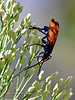 Tarantula Hawk Wasp 2018.10.4#302. Reputed to have the most painful sting of any insect in North America. Madera Canyon Arizona.