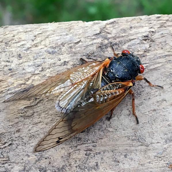 17 year Cicada 2021.5.24#0758.3. Bucks County Pennsylvania. Photo by Guy J.