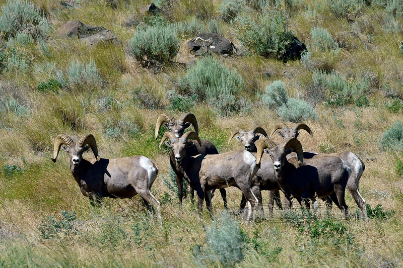 California Bighorn Rams, Ovis canadensis californiana 2021.6.18#4178.3. In the Colockum Mountains, Washington.