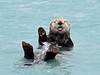Otter, Sea. Seward, Alaska. #84.681. 3x4 ratio format.