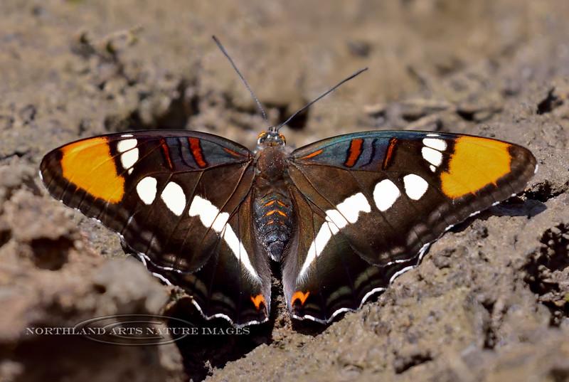 Arizona Sister Butterfly 2018.6.6#073. Kaibab Forest, Coconino County Arizona.