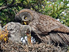 Owl, Great Gray. Interior Alaska. Young owl feeding itself a Red-backed Vole. #68.719.  See the Birds of Alaska Gallery for more owl images.