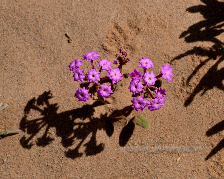 Desert Sand Verbena 2020.3.5.2. Abronia villosa in the Fortuna Sand Dunes Arizona.