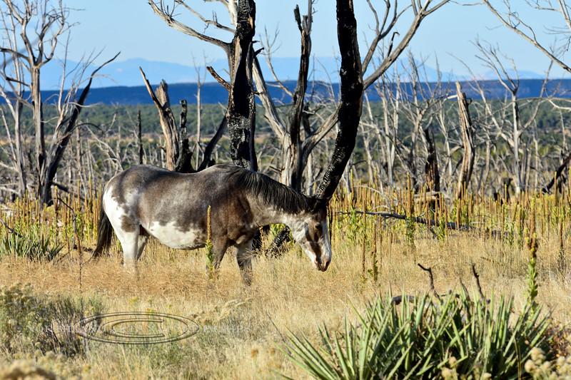 H-Horse, Wild. Mesa Verde, Colorado. #109.780.
