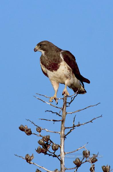 Swainson's Hawk 2019.4.8#566. Chiricahua Mountains, Arizona.
