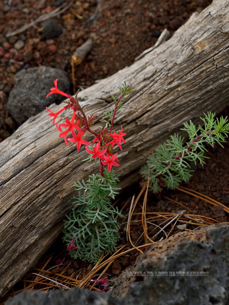 Scarlet Gilia 2018.6.6#380. Ipomopsis aggregata, var.arizonica. Sunset Crater Volcano. Arizona.
