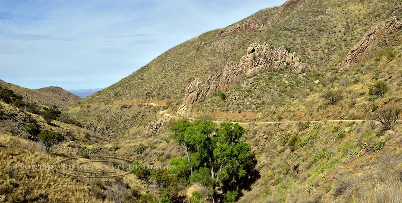 Fremont Cottonwoods and Pancake Prickly Pear Cactus 2018.3.22#076. Along Box Canyon Road, Santa Rita mountains, Arizona.