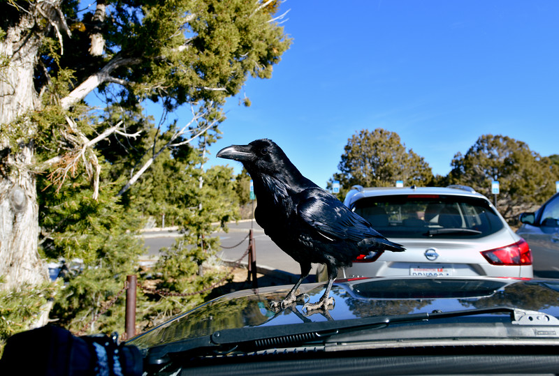 I had just finished a day of shooting images in the Grand Canyon, and was reviewing them when this Raven landed on the hood and was actually watching and trying to see what I was doing. 2020.1.14#3915. South Rim of the Grand Canyon Arizona.