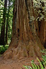 2021.6.20#8699.4. A Coastal Redwood, Sequoia sempervirens with a really great basal buttress. In the Stout Grove of the Jedediah Smith Redwood State Park, California.