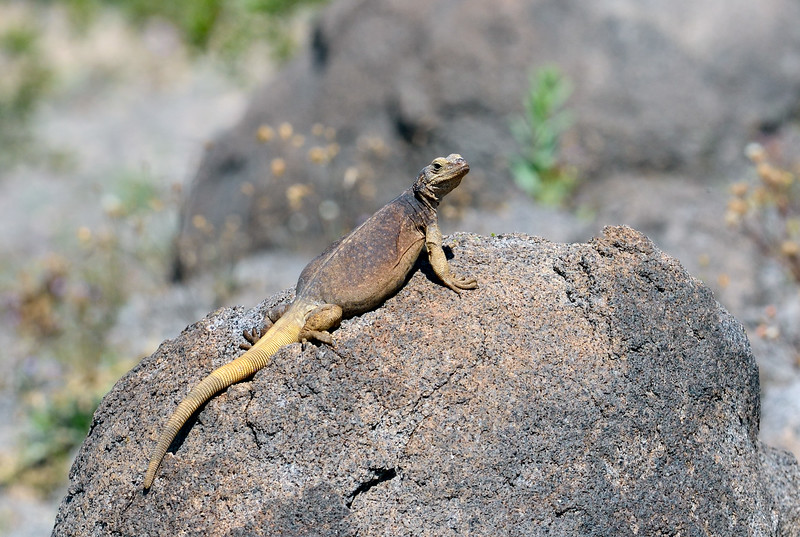 Chuckawalla 2019.3.6#236. A female basking on a rock. Maricopa County Arizona.