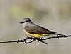 A handsome male Western Kingbird. 2020.4.23#0358.3. Prescott Valley Arizona.