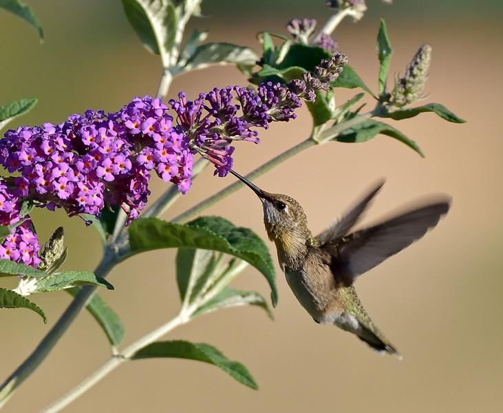 Black-chinned Hummingbird. 2019.6.5#599. A mature female on the Mantch Ranch, near Hereford Arizona.