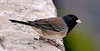 Junco, Dark-eyed, Oregon race. Grand Canyon, Coconino County, Arizona. #1129-1083.